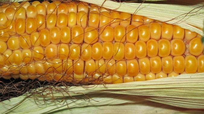 corn-190014_1920